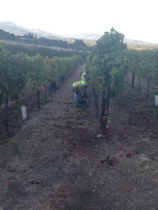 Kick Syrah Harvest3