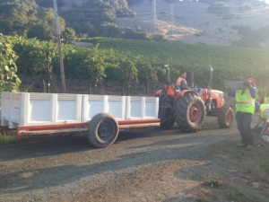 Kick Syrah Harvest4